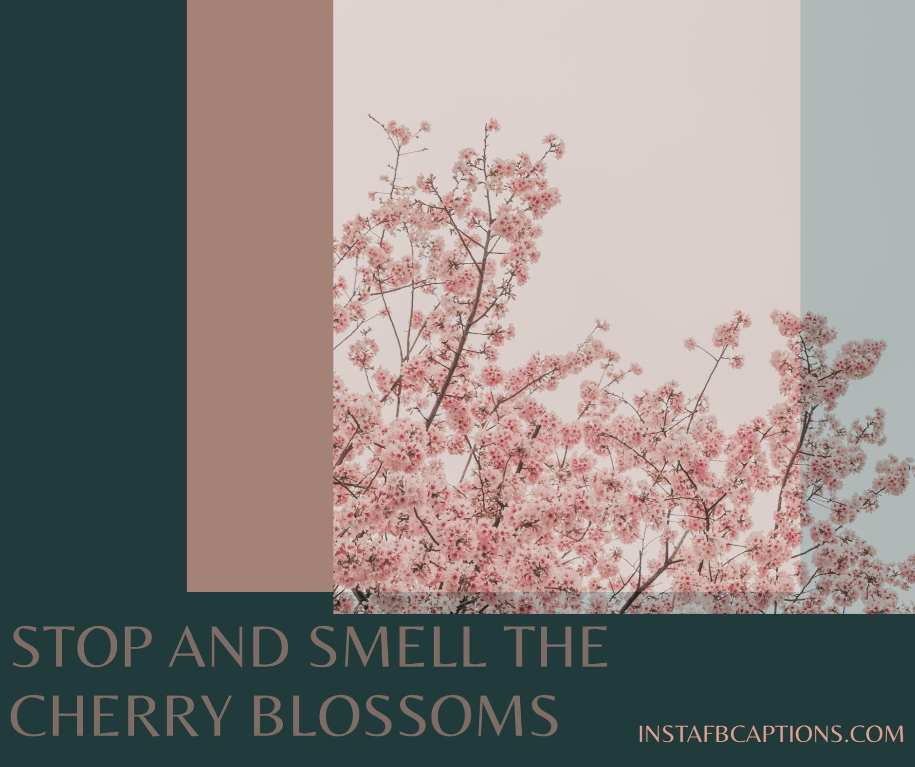 Cherry Blossom Quotes  - Cherry Blossom Quotes - 150+ Best SPRING Instagram Captions 2021
